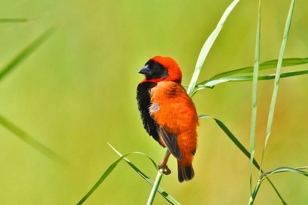 ミナミキンランチョウ(雨季の繁殖羽)