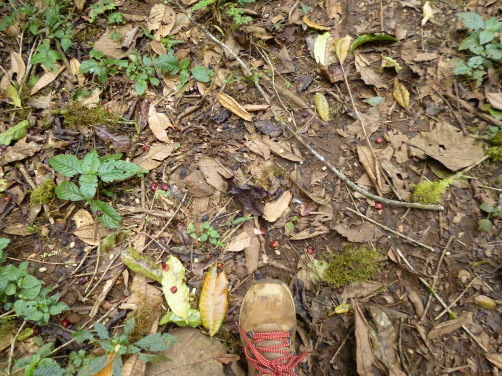 森の中には完熟した実が足元に落ちています