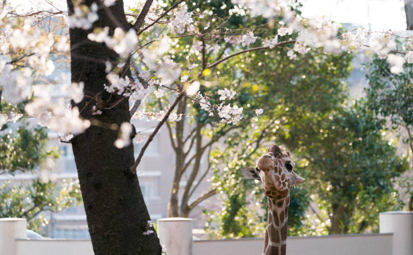 野毛山動物園のお花見キリンを撮ってみた