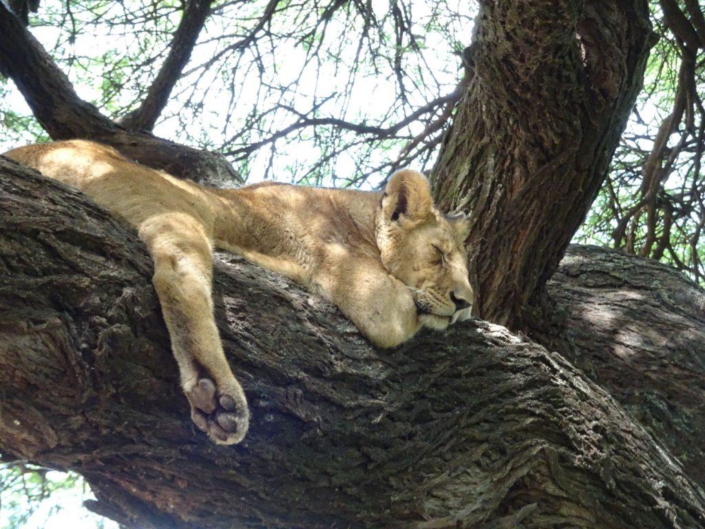 木登り子どもライオン2