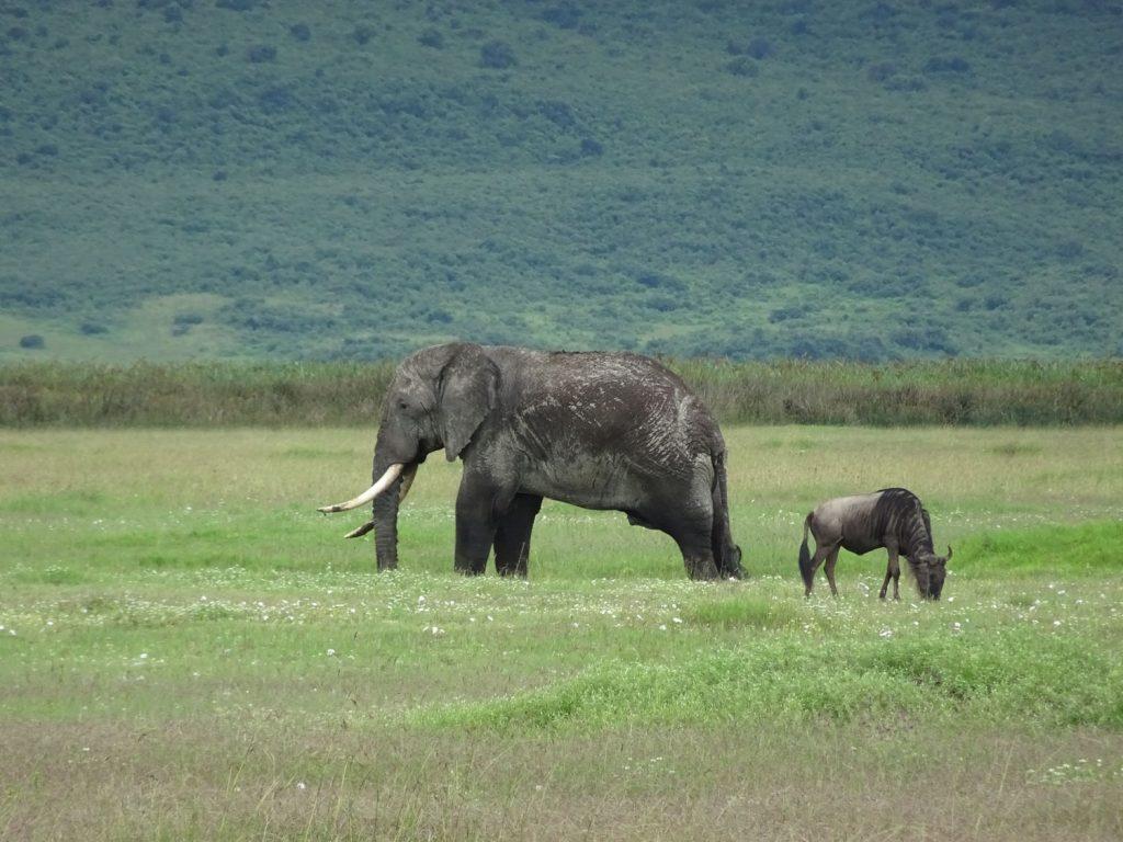 ヌーと較べてもゾウは大きい!