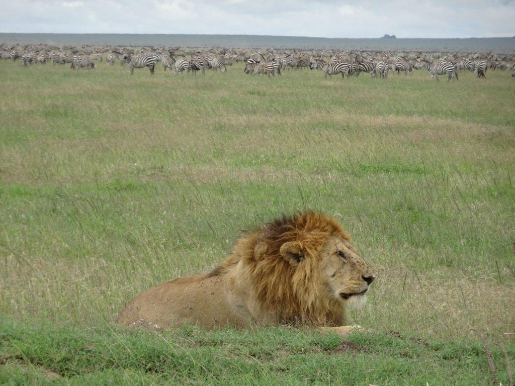 草食動物のすぐ近くにライオン発見!