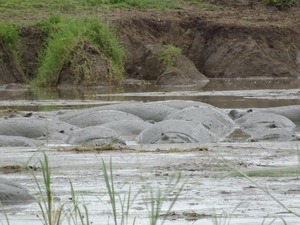 泥パック中のカバ