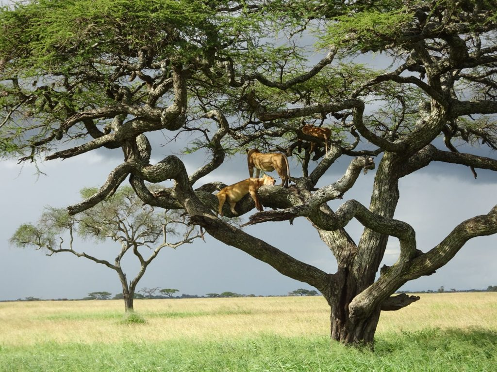 セレンゲティでも木登りライオン