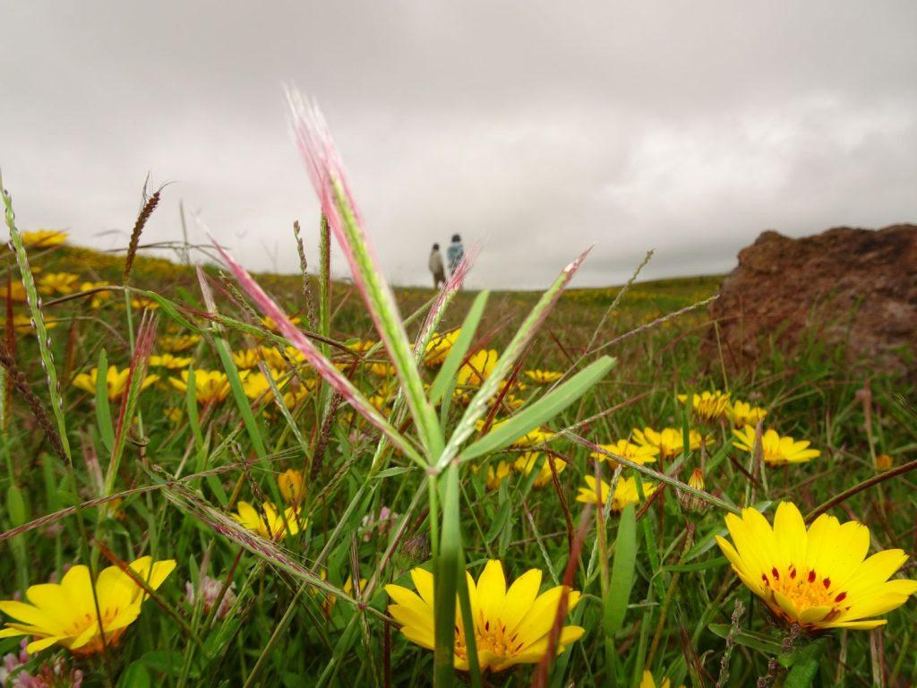 ンゴロンゴロに咲くアスピリアの花