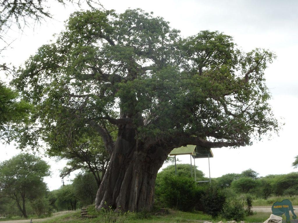 バオバブの巨木
