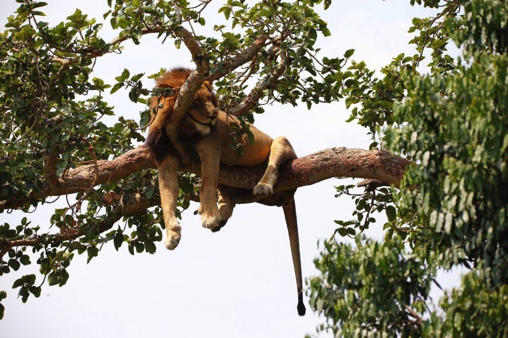 イシャシャ地区、木登りライオン