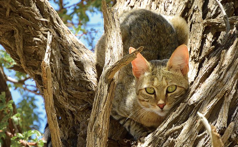 WILD AFRICA 36 昼の砂漠でネコ探し