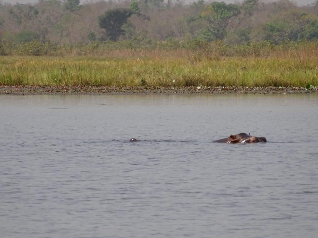 呼吸をするため水から顔を出したカバに、船頭さんは「ありがとう、また来るよ」とカバ語で挨拶