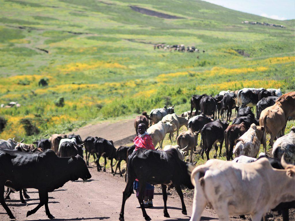 ウシ渋滞です。ンゴロンゴロは『保護区』なのでマサイの人達の居住が認められています。