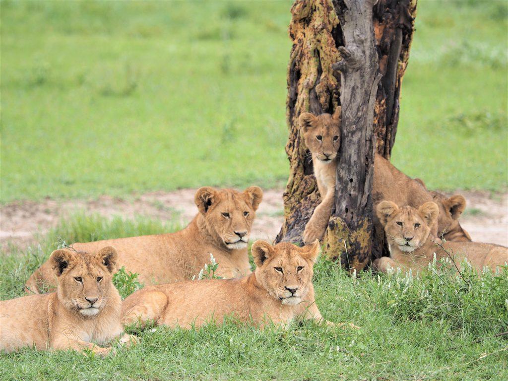 ライオンの子供たち。お兄ちゃんは小さなタテガミも生やし始めています。