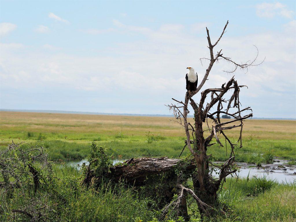 アンボセリでは、あまり大きな動物には出会えなかったのですが、その代わり、いろんな鳥をたくさん見かけました。African Fish-Eagle, サンショクウミワシ