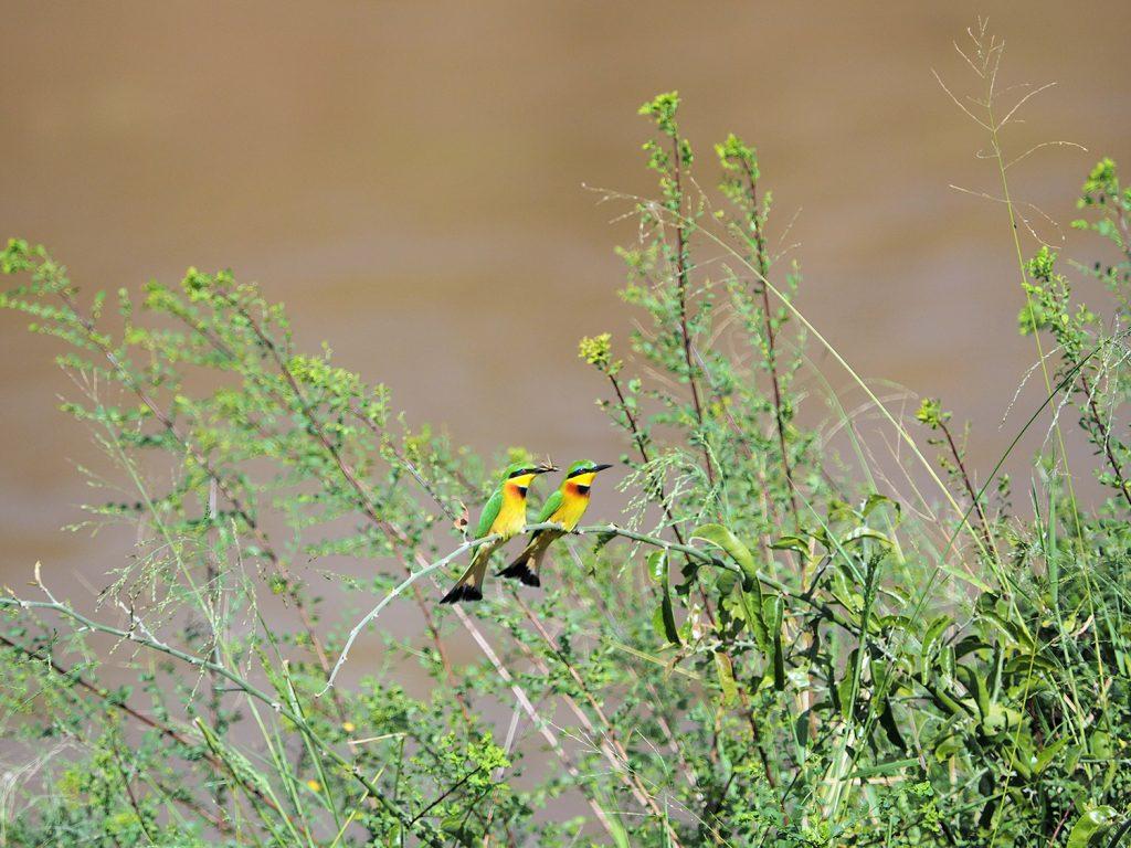 Little Bee-eater/ヒメハチクイ。空中でミツバチを起用にキャッチして食べていました。