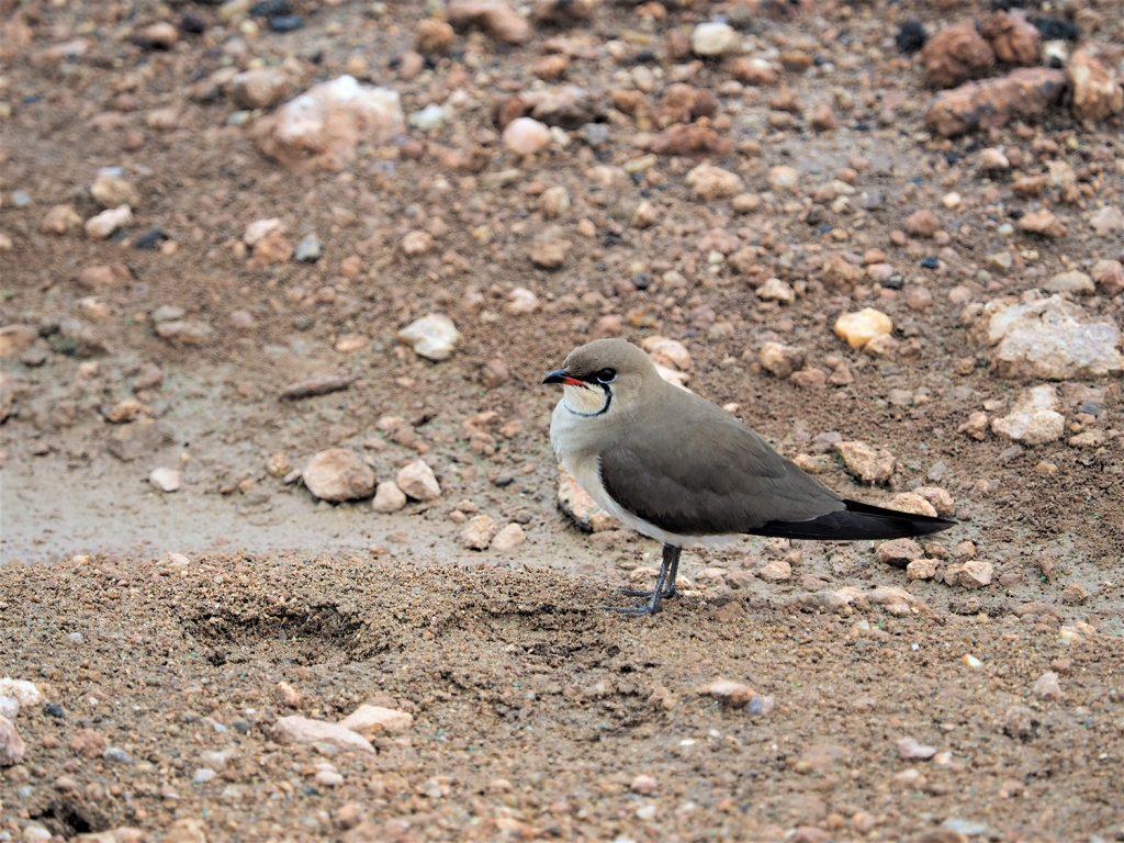 Red-winged Pratincole/ツバメチドリ。日本や中国にもいますね。東アフリカでは意外とレアモノ。