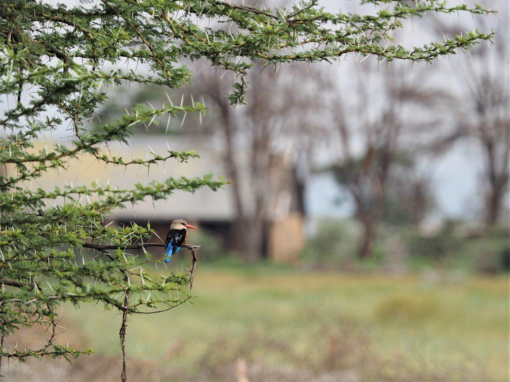 Grey-headed Kingfisher/ハイガシラショウビン。差し色のコバルトブルーがきれいです。ケニアにはカワセミの仲間が15種類いるそうです。