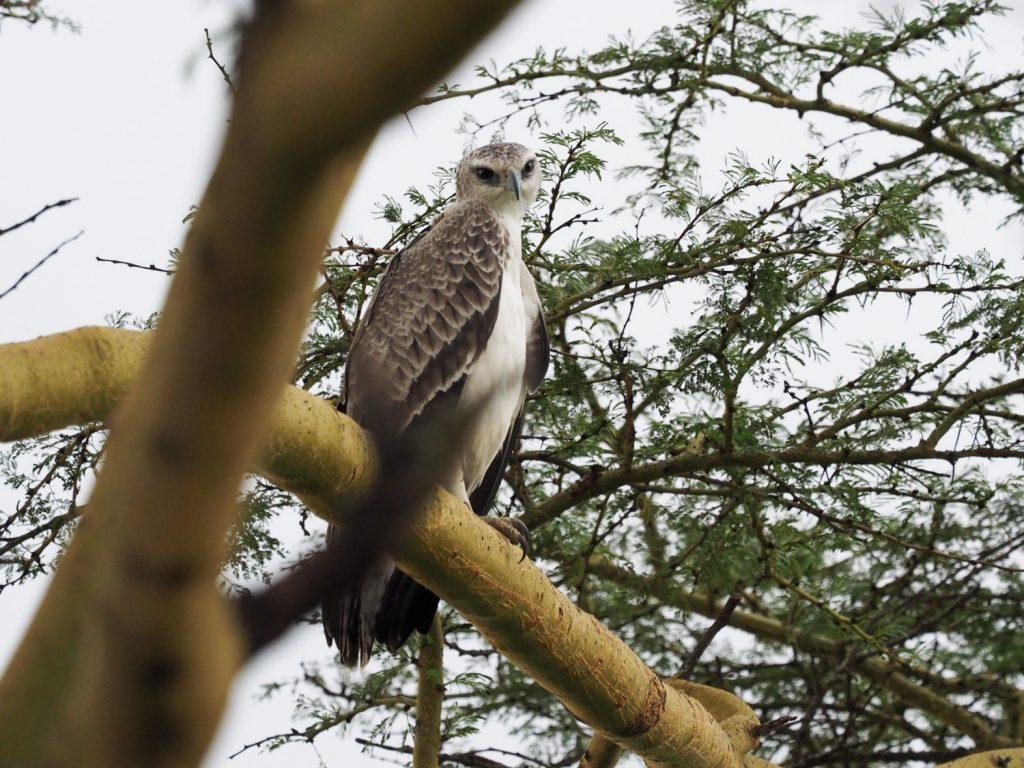 ナクル湖では幼鳥とは思えないほど大きい、ゴマバラワシの幼鳥も見かけました