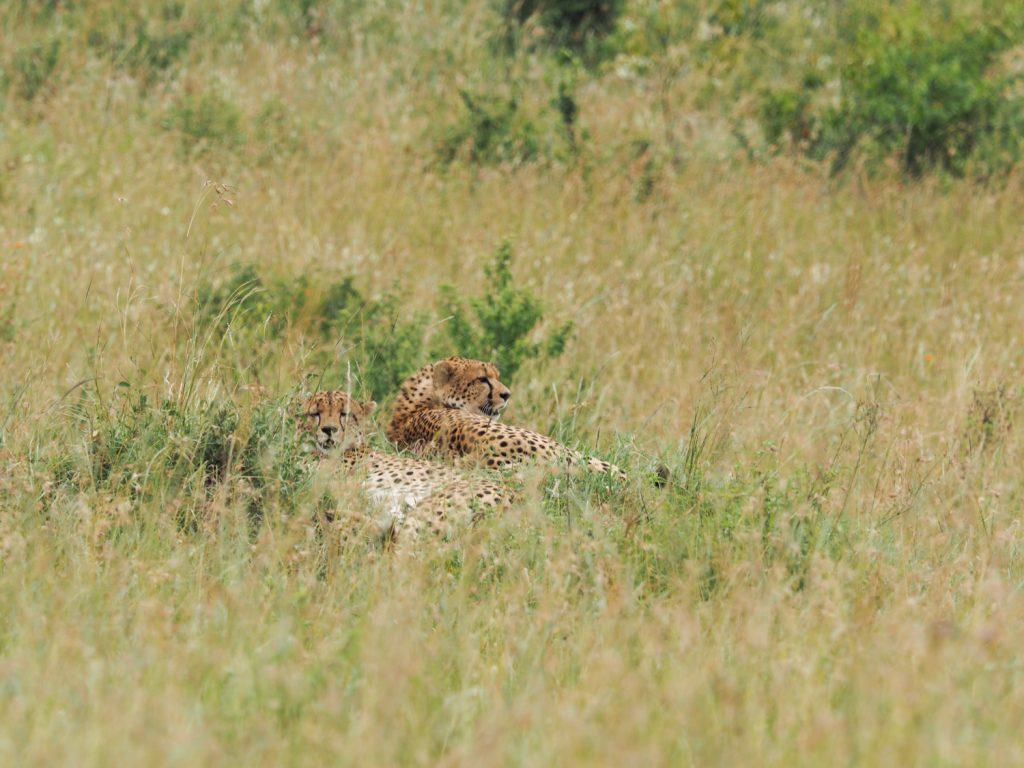 メスライオンのすぐ近くで見つけたチーターの兄弟