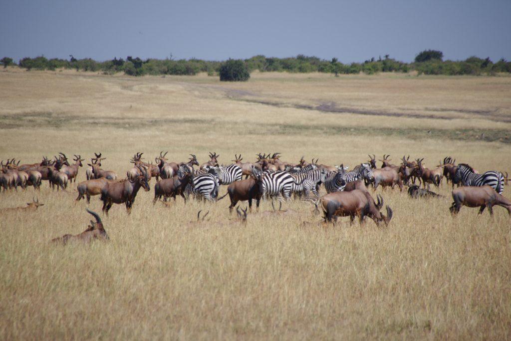 草原は、トピの大群。タンザニアからいらっしゃいました。