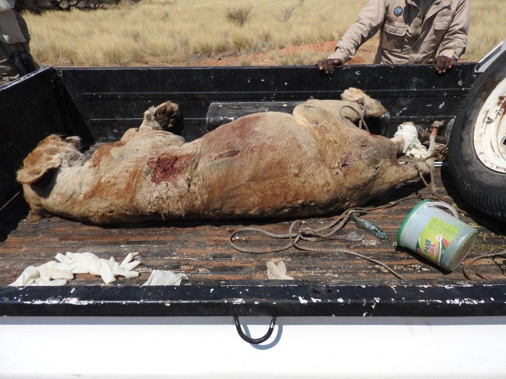 前日、プライドのメス2頭が放浪しているメスを殺したそうです。調査のためなのか公園管理事務所の人がトラックで運んで行きました。妊娠してたようです。
