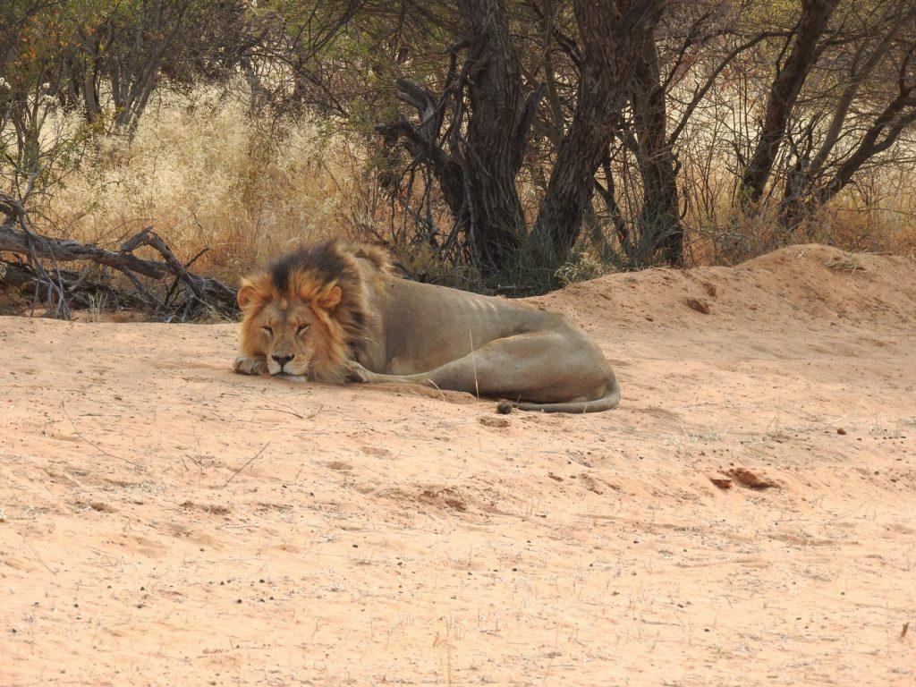 オスライオンが公園外の道のそばで寝ていました。