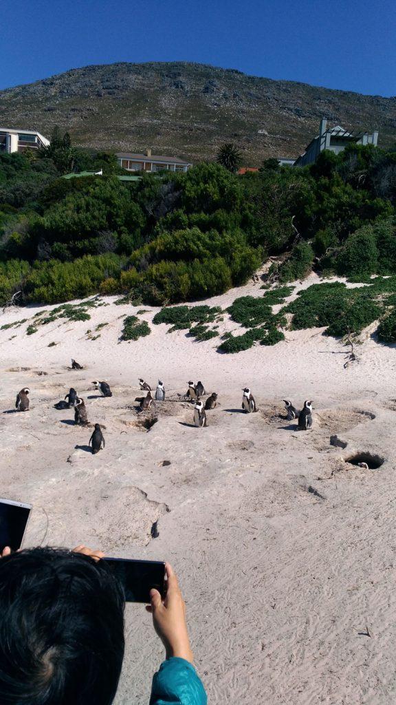 ボルダーズビーチのペンキン達