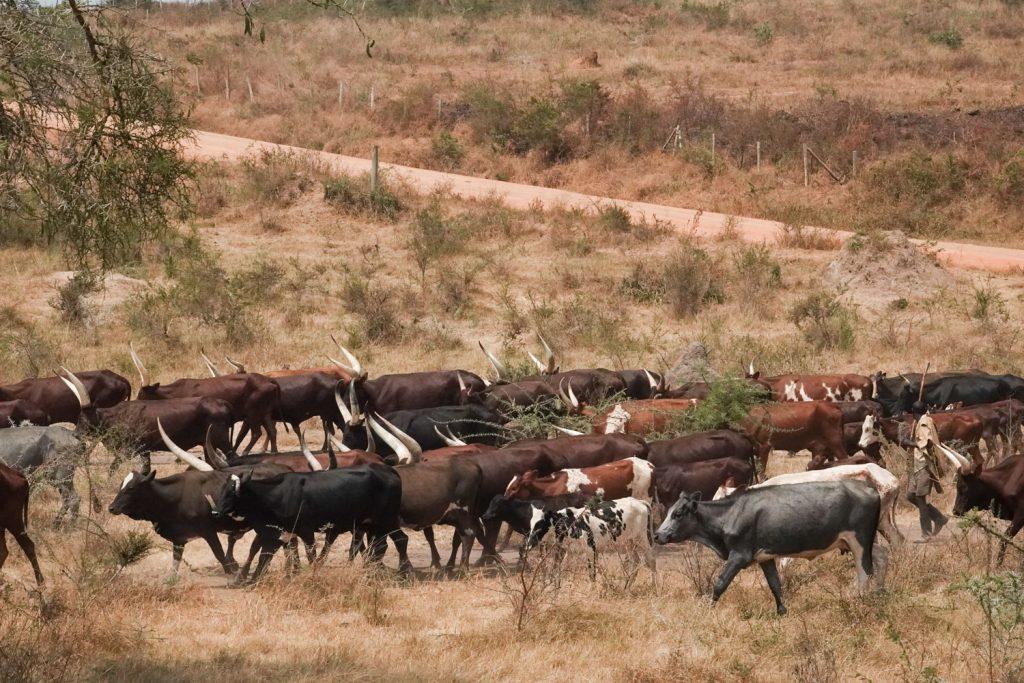 立派な角で有名なアンコーレ牛。