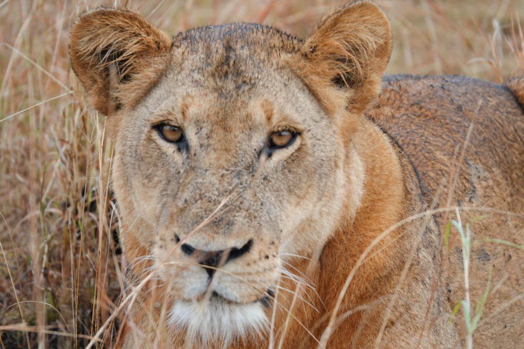 ゲームドライブで出会った雌のライオン。