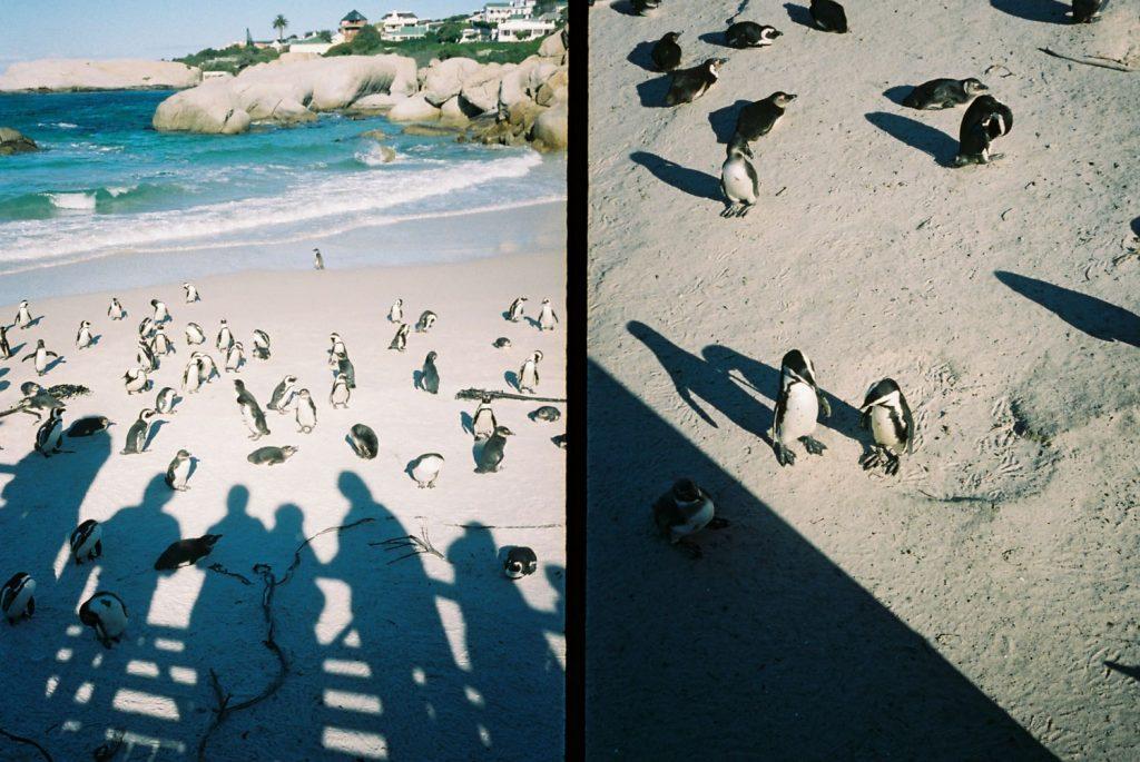 ペンギンが住むボルターズ・ビーチ。ペンギンがよちよち歩く姿は可愛すぎました。