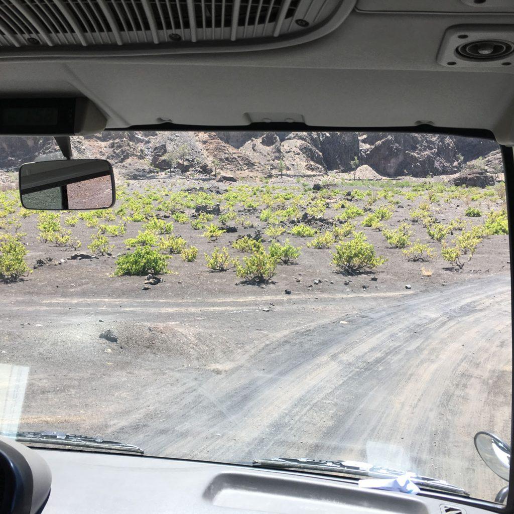 カルデラ内には様々な作物が植えられていますが、その一つにぶどうがあります!火山灰に含まれたミネラル豊富な大地に育つブドウ。そのまま食べても美味しかったです!