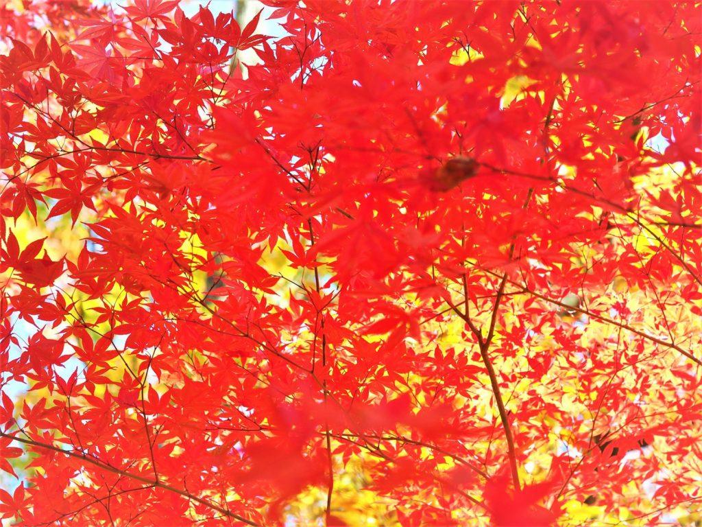 八ヶ岳周辺は紅葉のピークを迎えていました。