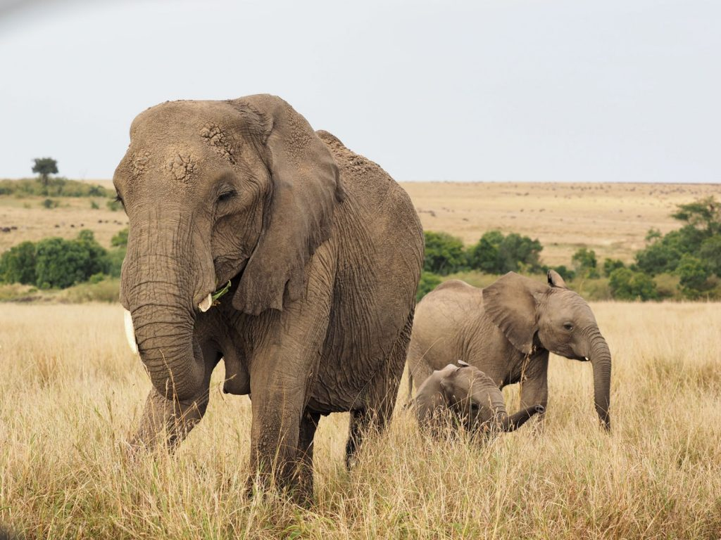 母親と姉に守られて戯れる子ゾウ