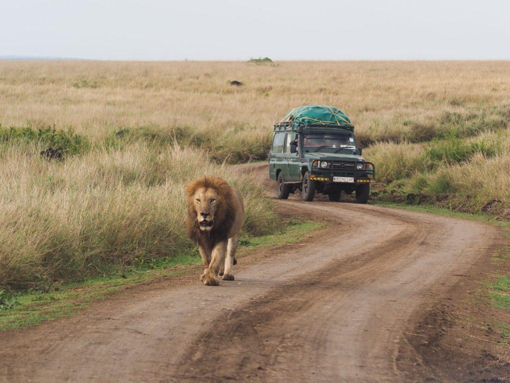 サファリカーを気にする様子もなく闊歩する、貫禄あるオスライオン