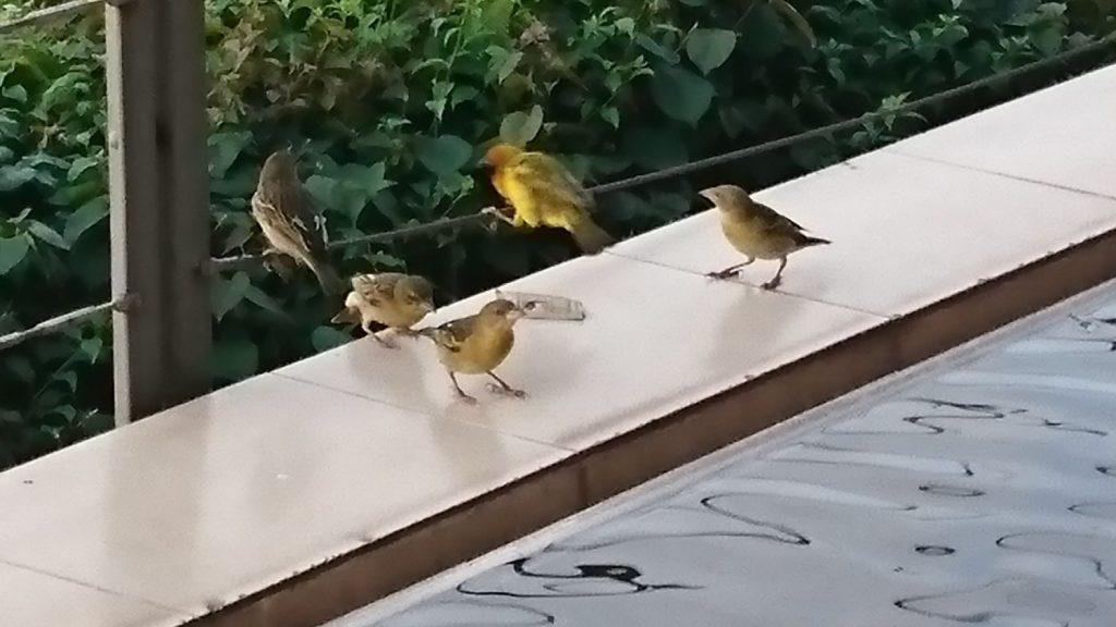 テラスのテーブルからお砂糖を奪ってつつき合う色鮮やかな小鳥たち