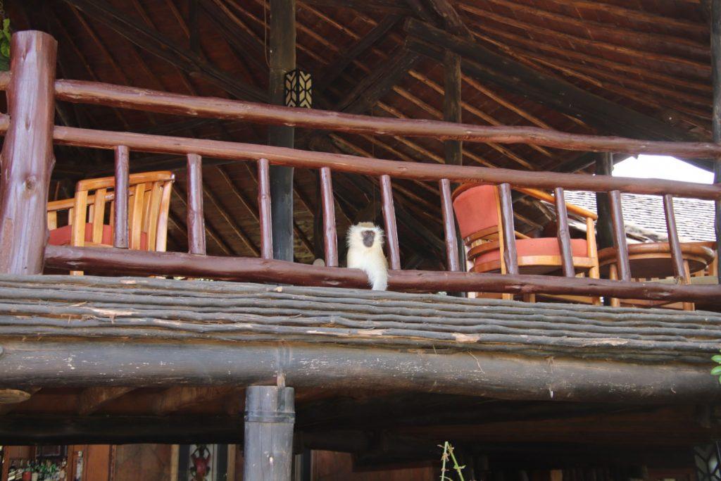 バーの2階から顔をのぞかせるサバンナモンキー