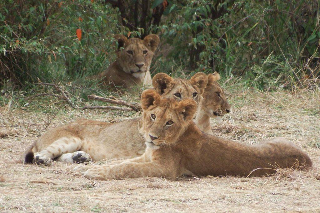ライオンの子供たち