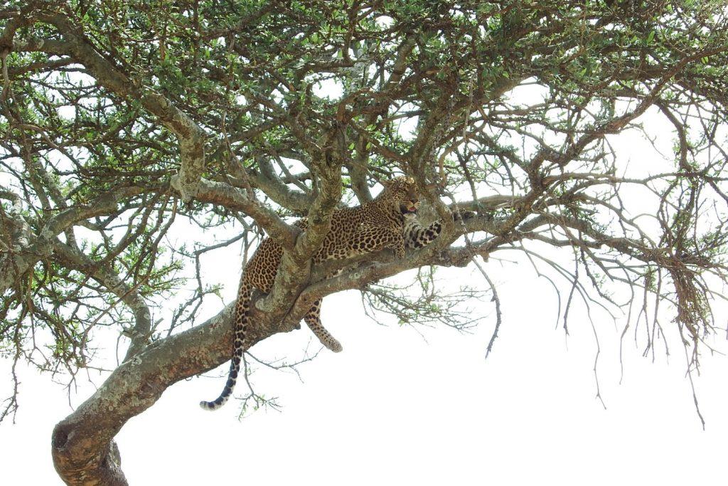 木の上のヒョウ