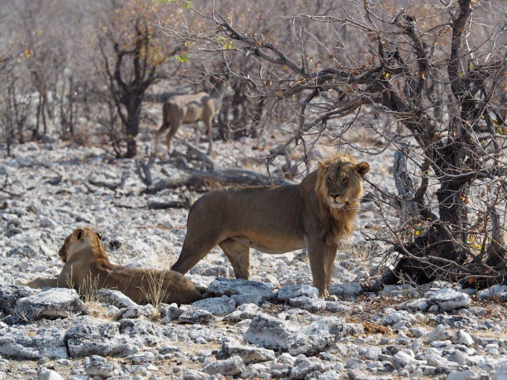 水場の畔にはハネムーン中のライオンカップルも