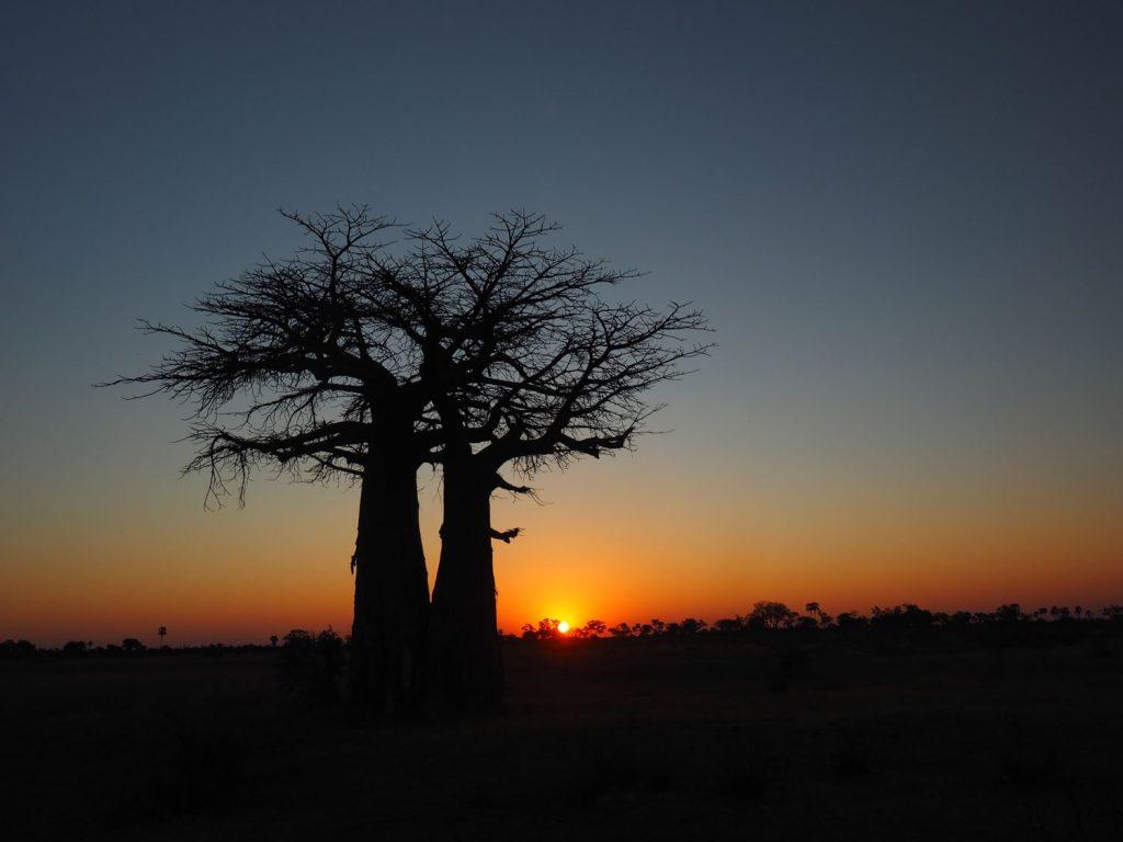 バオバブの木の向こうに沈む夕日