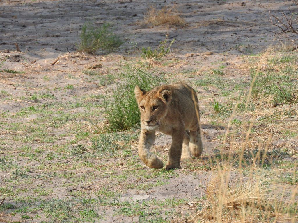ライオンの子供です。