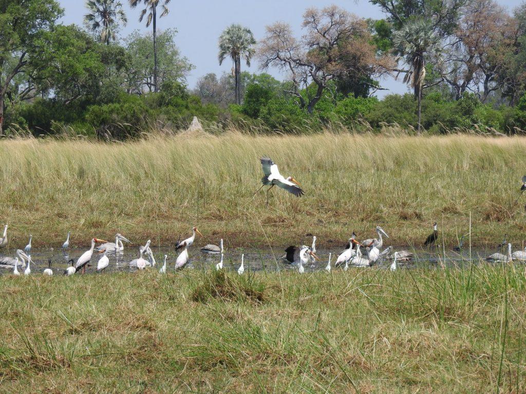 水が減っていくと魚は一か所に集まります。それを水鳥が争って捕まえます。それをサンショクウミワシが奪おうとします。今のシーズンならではの風景です。