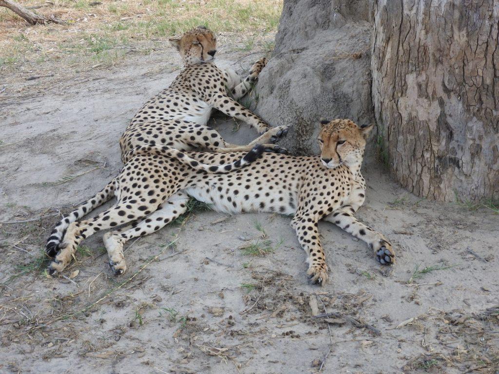 オスのチータ2匹が寝てました。