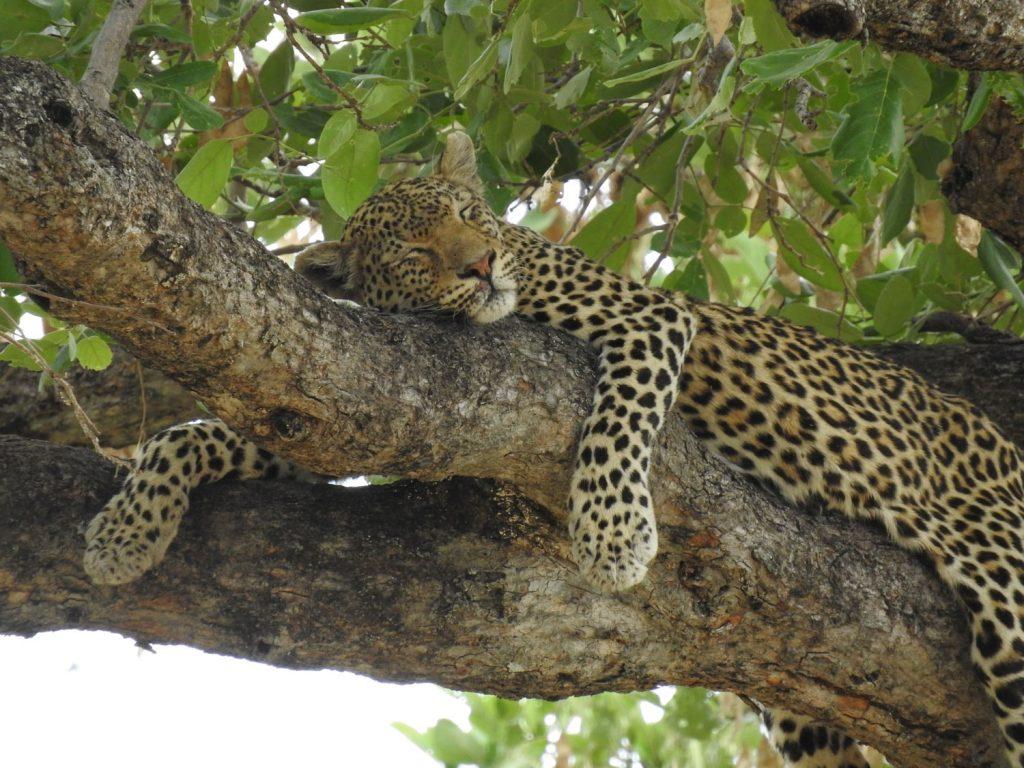 翌日は別のヒョウが木の上で寝ていました。ここでは3台の車で見ていました。