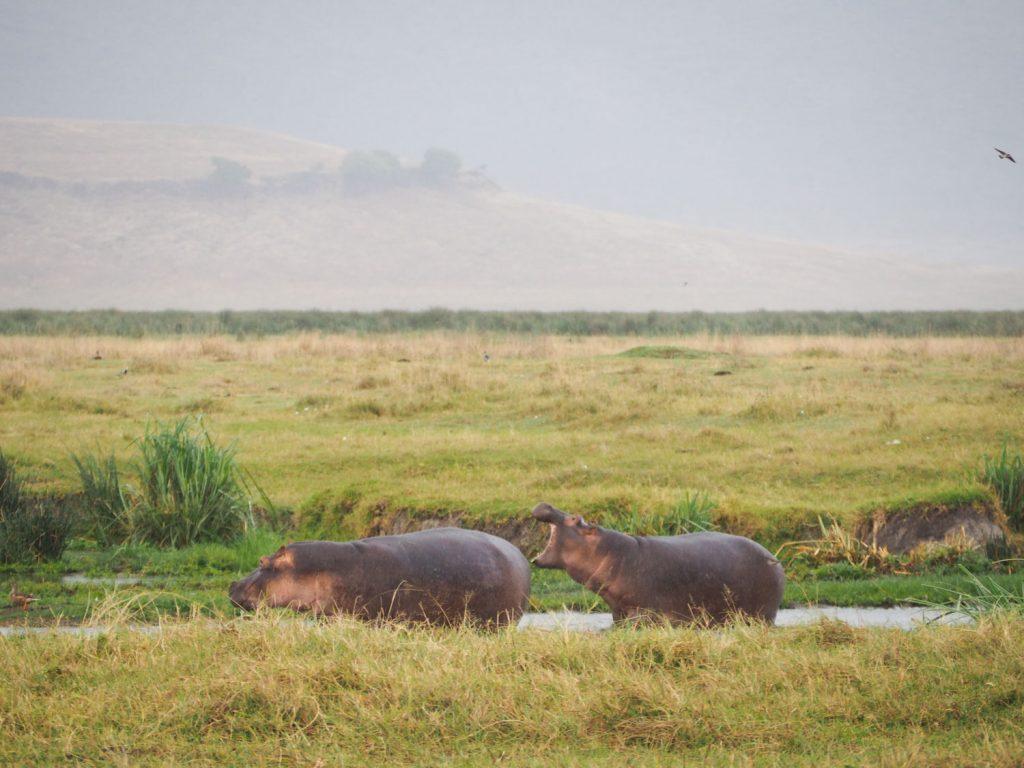 水辺にはカバたちも生息しています。