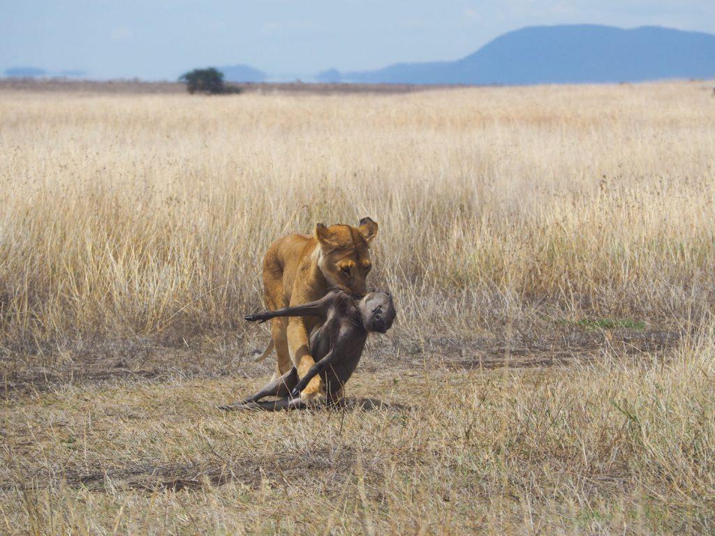フンバを仕留めて、茂みを目指すオスライオン。