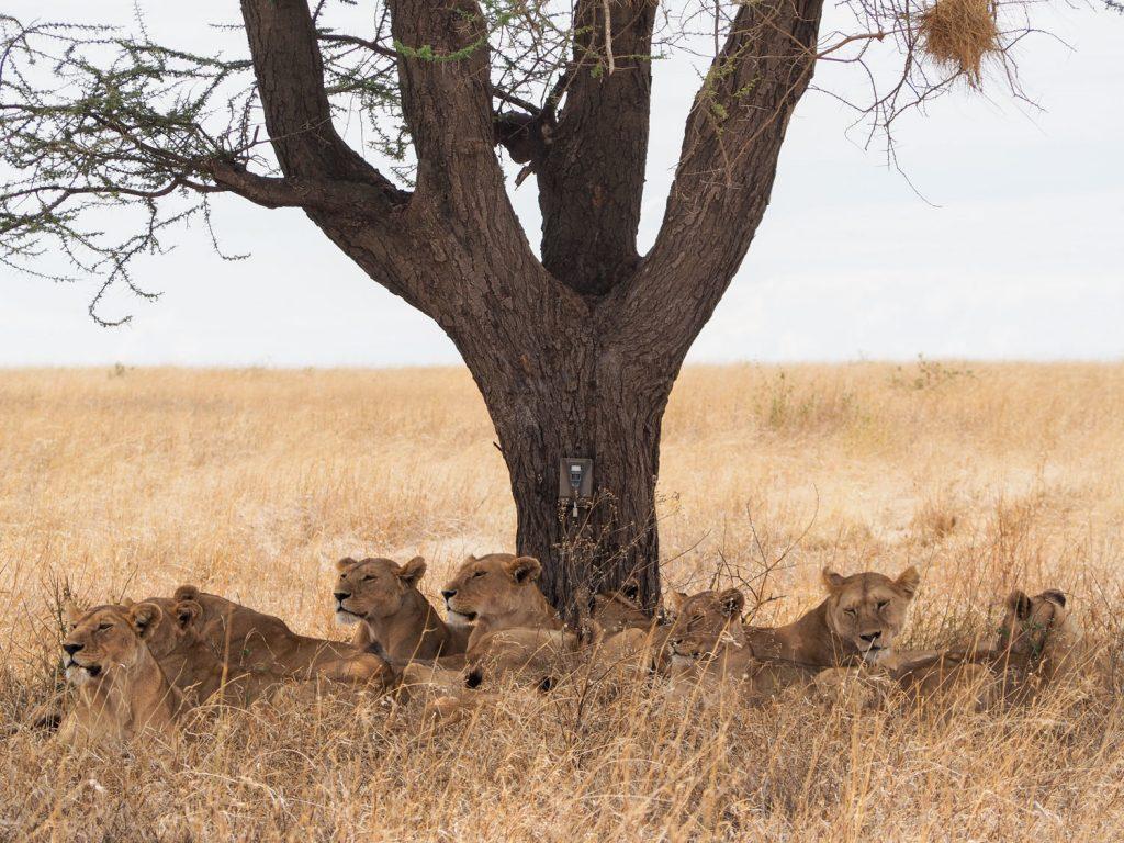 総勢12頭のライオンのプライド。