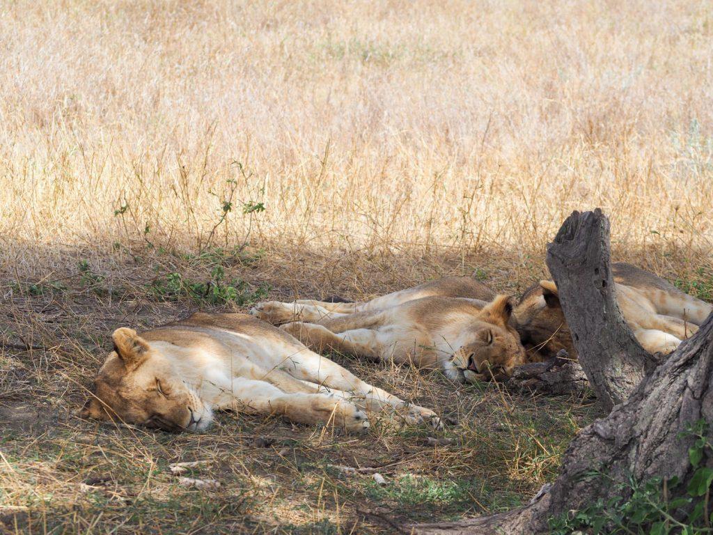 おしりを向けて仲良く寝るライオン4兄弟。