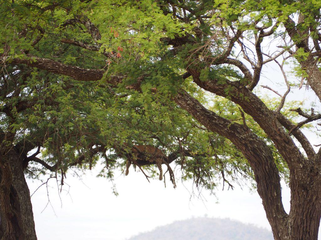 木の茂みを見え隠れするのは、、、、ヒョウ!!