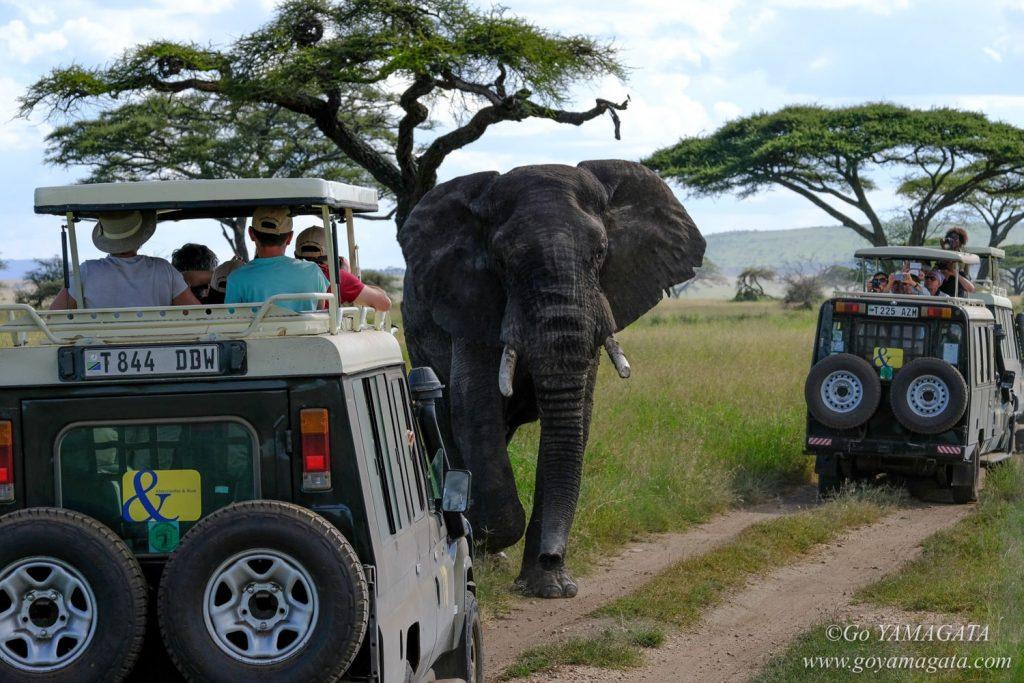 大きなオスのアフリカゾウにも大接近