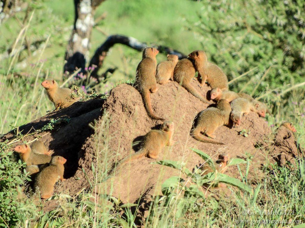 日向ぼっこするコビトマングースの家族