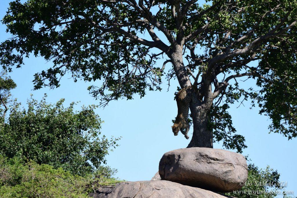 獲物を見つけ、木から降りてくるヒョウ